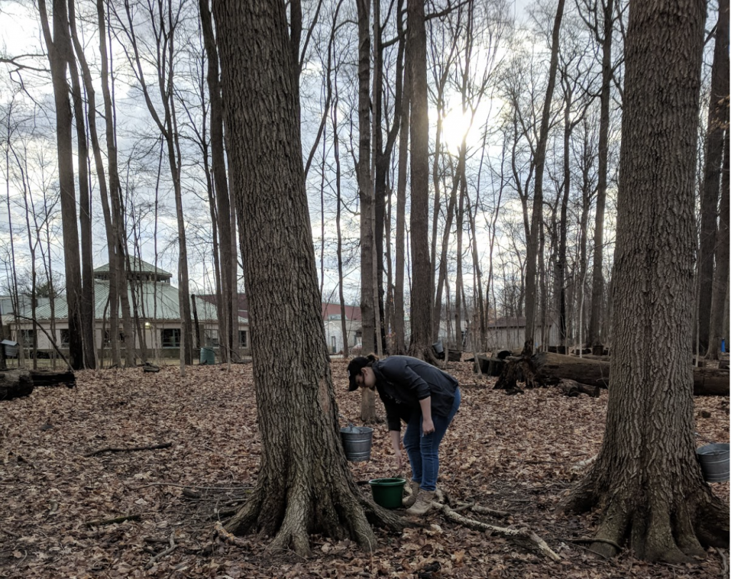 Maple-Tree-Tapping